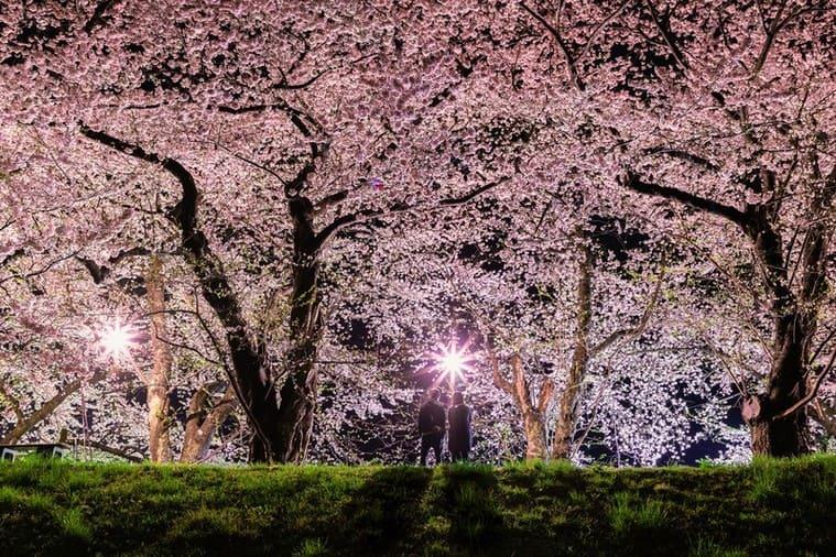 満開の桜を見に来たカップル